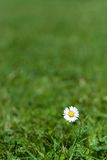 Single daisy. Lonely daisy in a meadow royalty free stock photography