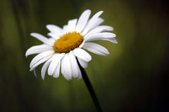 Single Daisy. A single white daisy against a blurred green background Stock Photos