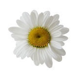 Single Daisy Royalty Free Stock Image