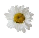 Single Daisy. Head, isolated on white Royalty Free Stock Image