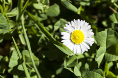 Single Daisy Beauty Royalty Free Stock Photography