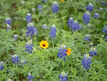 Single daisy in blue bonnet field stock images