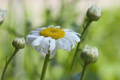 Single daisy flower alone, aged Stock Photography