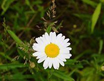 Single Daisy Flower in the Grass Royalty Free Stock Image