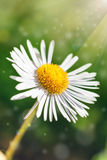 Single daisy flower on green bokeh background with sunshine. Royalty Free Stock Photography