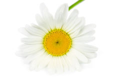 Single daisy flower Royalty Free Stock Image