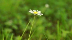 Single daisy flower stock video