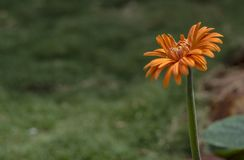 Isolated Orange Flower on Green Background royalty free stock photos