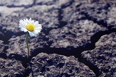 Free Single Daisy Flower Sprouts Through Dry Cracked Soil Royalty Free Stock Images - 157018489