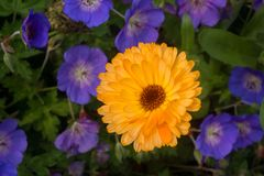 Bright Yellow Daisy Against Purple Flower stock photo