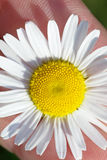 Single daisy in hand - closeup Royalty Free Stock Photography