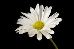 Single Daisy Stock Photography