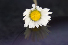 Single daisy after rain Royalty Free Stock Images