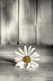 Single daisy Stock Photo