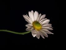 Single daisy Royalty Free Stock Photography
