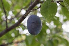 Single Damson Plum on plum tree. Sweet blue - indigo Damson Plum. Closeup shot of plum fruit in summer Royalty Free Stock Photo
