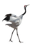 Single dancing japanese crane Stock Photography