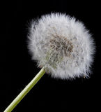 Single dandelion. Royalty Free Stock Photos