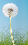 Single dandelion Stock Images