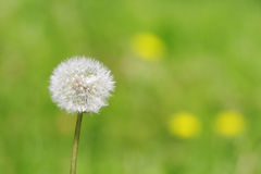 Single dandelion against a green background. Single dandelion against a green blurred background royalty free stock image