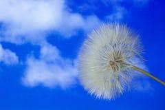 Single dandelion against the sky Stock Photo