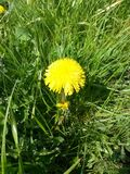 Single Dandelion. This beautiful stand alone Dandelion is & x27;shining& x27; in the meadow in The Netherlands Royalty Free Stock Photos