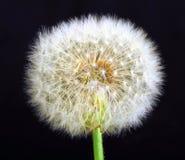 Single dandelion on black background Stock Photography