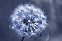 Single dandelion blue Stock Photos
