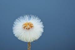 Single dandelion clock on a clear blue background - Taraxacum Stock Photo