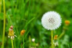 Single Dandelion close up isolated against green background. Scene royalty free stock images