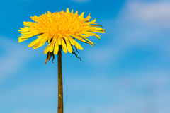 Single dandelion Stock Photo
