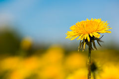 Single dandelion Royalty Free Stock Photography