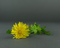 A Single Dandelion Flower on a Grey Background. A single yellow dandelion flower from the top laying on a grey background with leaves showing royalty free stock photography