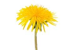 Single dandelion flower isolated on white. Background royalty free stock photography