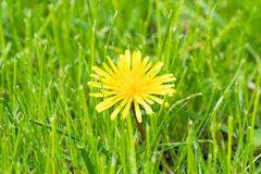 Single dandelion flower Royalty Free Stock Images