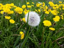 Single dandelion fluffy seed head on a meadow Royalty Free Stock Photo