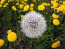 Single dandelion fluffy seed head on a meadow Royalty Free Stock Photography