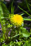 Single dandelion in grass Stock Photography