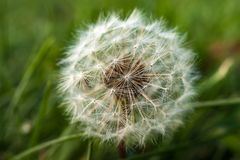 A single dandelion on green background in early fall. Afternoon Stock Photography