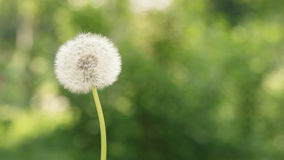 Single dandelion on the meadow Stock Image