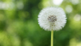Single dandelion on the meadow Stock Photos