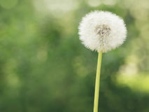 Single dandelion on the meadow Royalty Free Stock Image