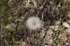 Single Dandelion Plant Along Trail Northern California Stock Photography