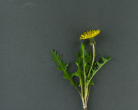 Single Dandelion Plant on Grey Background. A single dandelion plant on a grey background with leaves flower and stem stock photo