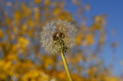 A single dandelion is ready to get blown by the wind and have its seed fly all around to spread more dandelions. royalty free stock photography