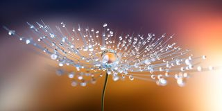 Dandelion seed with dew drops in the evening sun stock photography