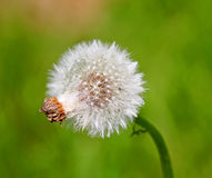 Single Dandelion Seed Head stock photos