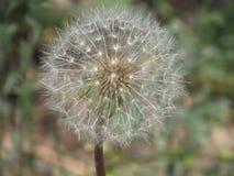 Single Dandelion Royalty Free Stock Photos