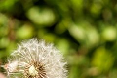Single dandelion with some seeds blown away on green backgroun. A single dandelion with some seeds blown away on green background in late summer Stock Photo