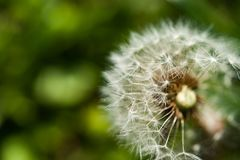 Single dandelion with some seeds blown away on green backgroun Royalty Free Stock Images
